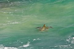 Sea Turtle in green tropical water Royalty Free Stock Photography