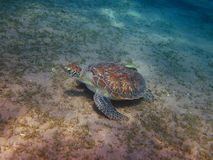 Sea turtle on the ground Royalty Free Stock Image