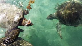Sea turtle group Royalty Free Stock Image