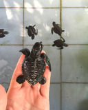 Sea Turtle on the hand before first swim in the pool with family. Reptile newborn hatched from egg. royalty free stock photo