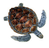 Sea turtle. Has a hard shell royalty free stock photography
