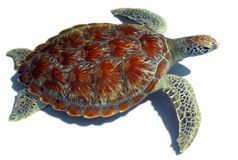 Sea turtle. Has a hard shell stock images