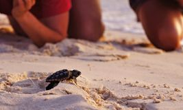 Sea Turtle Hatchling, Loggerhead baby Royalty Free Stock Photography