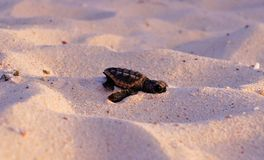Sea Turtle Hatchling, Loggerhead, Faceplant baby. Clumsy Sea Turtle Hatchling on the beach, beginning his journey Stock Image