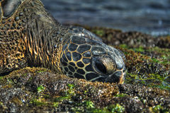 Sea Turtle in HDR Royalty Free Stock Image