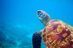 Sea turtle head in blue water. Coral reef animal underwater photo. Marine tortoise undersea. Green turtle in natural environment. Green turtle underwater stock photo