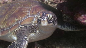 Sea Turtle Head on bottom close up underwater of nature Philippines. stock footage
