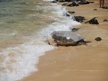 Sea turtle heading out. A sea turtle bows his head into the waves as he moves into the Pacific Ocean, North Shore, Oahu royalty free stock photo