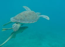 The sea turtle and his friends royalty free stock photos