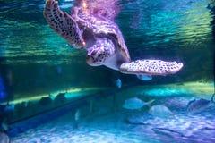Free Sea Turtle In Aquarium At Sea Life Bangkok Ocean World Royalty Free Stock Photography - 161798427