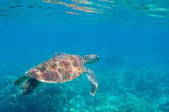 Free Sea Turtle In Blue Water. Friendly Marine Turtle Underwater Photo. Oceanic Animal In Wild Nature. Summer Vacation Royalty Free Stock Photography - 209578807
