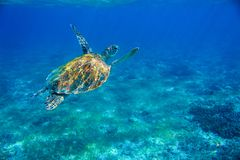 Free Sea Turtle In Shallow Water Underwater Photo. Marine Green Turtle. Wildlife Of Tropical Coral Reef. Sea Tortoise Dive Up Royalty Free Stock Photos - 126783398