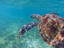 Free Sea Turtle In Tropical Seashore, Underwater Photo Of Marine Wildlife. Snorkeling With Sea Turtle. Royalty Free Stock Photo - 127830675