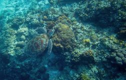 Free Sea Turtle In Water. Marine Tortoise In Wild Nature. Green Turtle In Coral Reef Underwater Photo. Royalty Free Stock Photography - 109113717