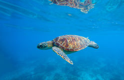 Free Sea Turtle In Water. Underwater Photo With Tortoise. Stock Photography - 88674372