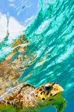 Sea turtle Royalty Free Stock Image