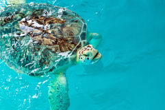 Sea Turtle. Injured Sea Turtle Saved by The Clearwater Marine Aquarium Royalty Free Stock Photo