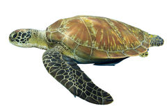 Sea turtle isolated Stock Photography