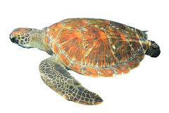Sea turtle isolated Royalty Free Stock Image