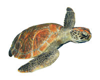 Sea turtle isolated. Green Sea Turtle isolated on white background royalty free stock photography