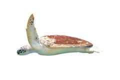 Sea Turtle isolated on white background Royalty Free Stock Photo