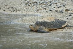 Sea turtle on its way into the ocean, Zamami, Japan royalty free stock image