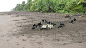 Sea turtle killed by jaguar and eaten by vultures stock video