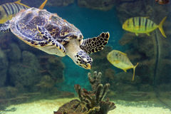 Sea turtle Stock Images