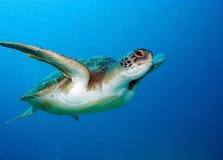 Sea turtle. Loggerhead sea turtle, Caretta caretta, in Tenerife, Spain Royalty Free Stock Photo