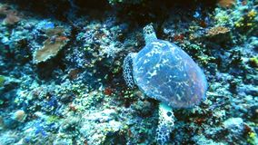 Sea turtle looking for food on coral reef stock video