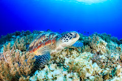 Sea Turtle looking up from a tropical coral reef Stock Photo