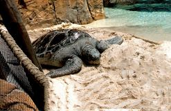 Sea Turtle Lounging on the Sand Stock Image