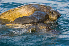 Sea turtle love. A mating pair of Pacific Green Sea Turtles (Chelonia mydas). Endangered. Urvina Bay, Isabela Island, Galapagos, Ecuador royalty free stock images