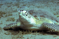 Sea turtle lying on a seagrass meadow Stock Photo