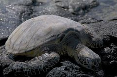 Sea turtle at Mahai`ula beach, Hawaii stock image
