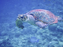 Sea turtle in maldives Stock Photos