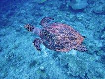 Sea turtle in maldives stock photo