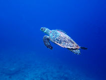 Sea turtle in maldives Royalty Free Stock Photos