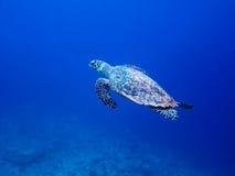 Sea turtle in maldives royalty free stock photos