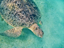Sea turtle in maldives Royalty Free Stock Photo