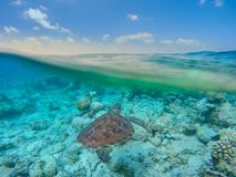Sea turtle in Maldives blue sea. Surface and underwater marine life and horizon view and soft waves stock photography