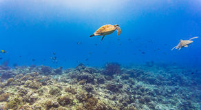Sea turtle and many fish at tropical reef under water