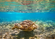 Sea Turtle in Maui Hawaii Stock Photography