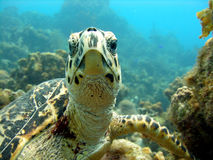 Sea turtle meets scuba diver head on. An inquisitive sea turtle swims up and checks out the photographer Royalty Free Stock Image