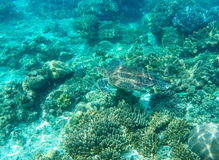 Sea turtle mimicry on seabottom. Green turtle in sea water. Ecosystem of tropical seashore. Snorkeling with turtle image. Underwater landscape with sea animal Royalty Free Stock Photos