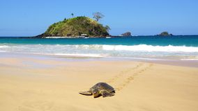 Sea turtle on Nacpan beach. El Nido Royalty Free Stock Images