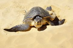 Sea turtle on Nacpan beach. El Nido Stock Photos