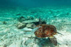 Sea turtle in nature Stock Image