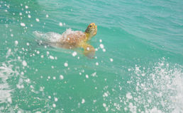Sea Turtle. In the nature of Sian Kaan Stock Images