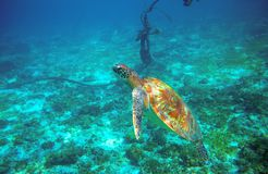 Sea turtle near boat anchor. Coral reef animal underwater photo. Marine tortoise undersea. Green turtle in natural environment. Marine animal underwater royalty free stock images